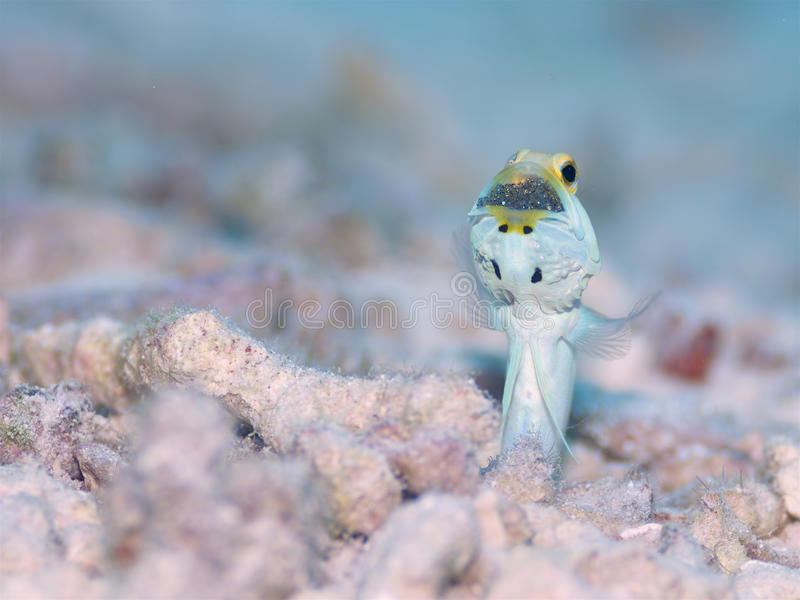 Male Yellow-headed Jawfish mouth brooding eggs, Bonaire, Dutch Antilles. stock photo