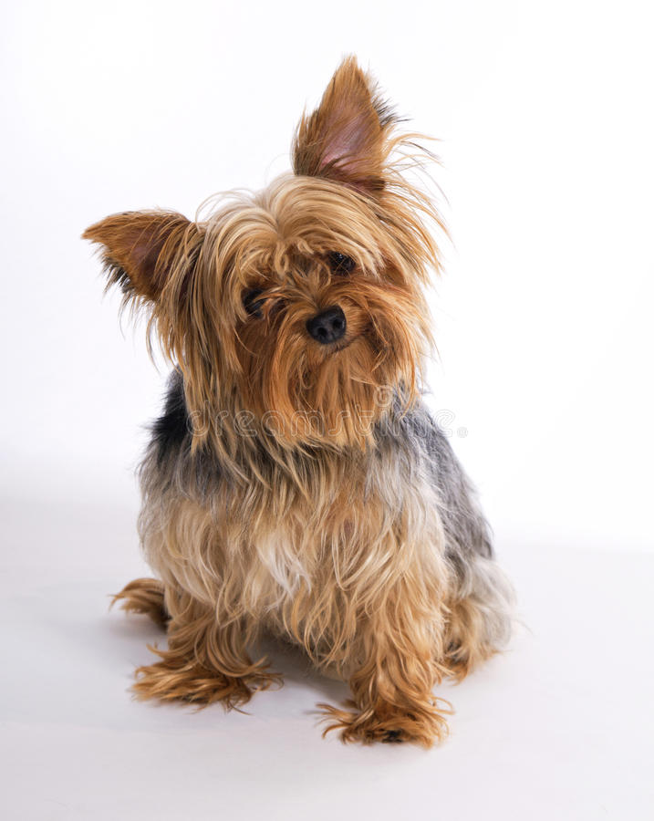 Free Male Yorkie Dog Pet Stock Photos - 22038603