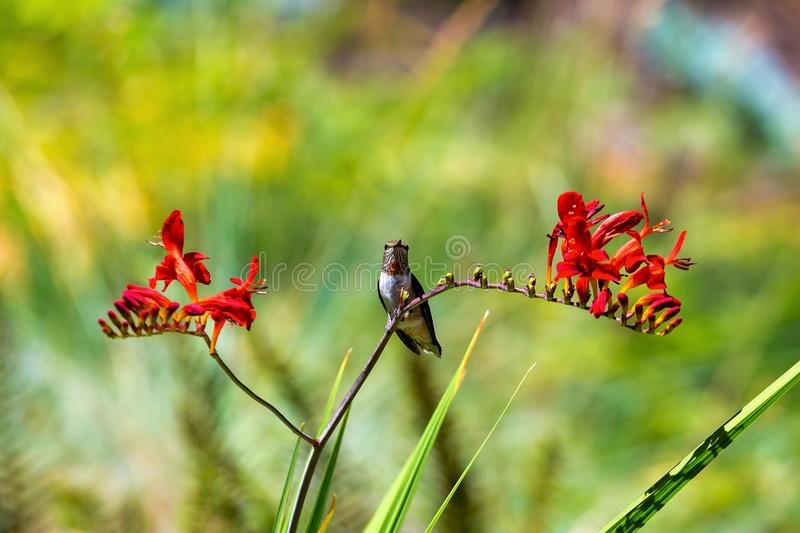 Male Young Hummingbird Perched on stalk of flowers. Immature male Rufous Hummingbird perched on a stalk of Crocosmia flowers in summer royalty free stock image