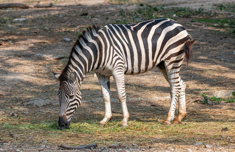 Male zebra feeding on grass in a zoo. Chiang Mai, Thailand stock photography