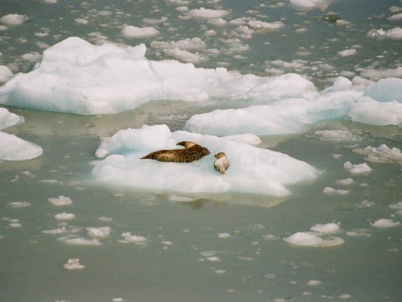 Maledica questo ghiaccio è freddo immagine stock