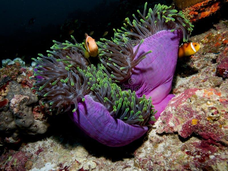 Maledivische anemonefish in der enormen Anemone stockbilder