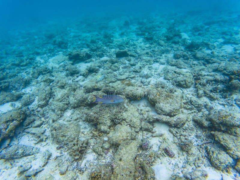 Maledivische Seefische stockbilder