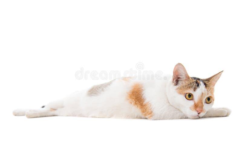 Maleise droevige korte haired kat royalty-vrije stock afbeelding