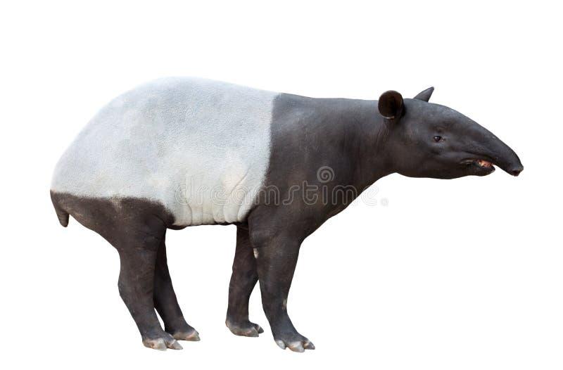 Maleise geïsoleerde tapir of Aziatische tapir stock foto