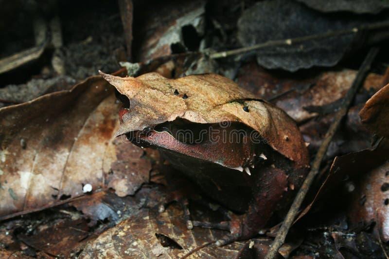 Maleise Gehoornde kikker stock afbeeldingen
