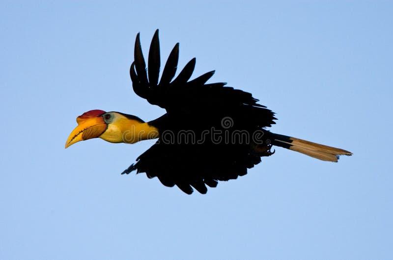 Maleise jaarvogel,起皱纹的犀鸟, Aceros corrugatus 免版税库存图片