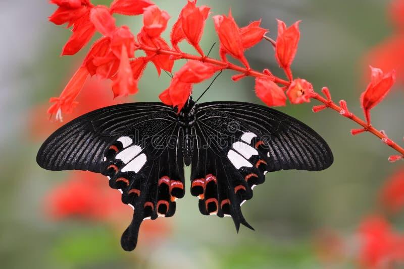 Maleise vlinder royalty-vrije stock foto's