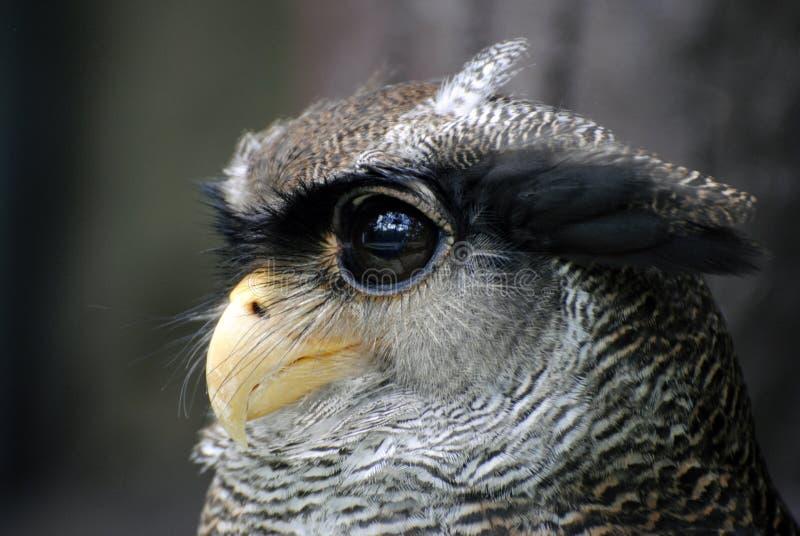 Maleisische Eagle-uil stock afbeeldingen