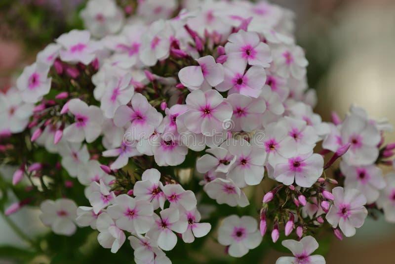 Malerische Blüte von hellen Flammenblumeblumen lizenzfreie stockfotografie