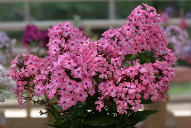 Malerische Blüte von hellen Flammenblumeblumen lizenzfreie stockbilder