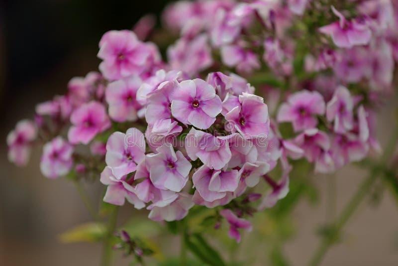 Malerische Blüte von hellen Flammenblumeblumen stockfotografie
