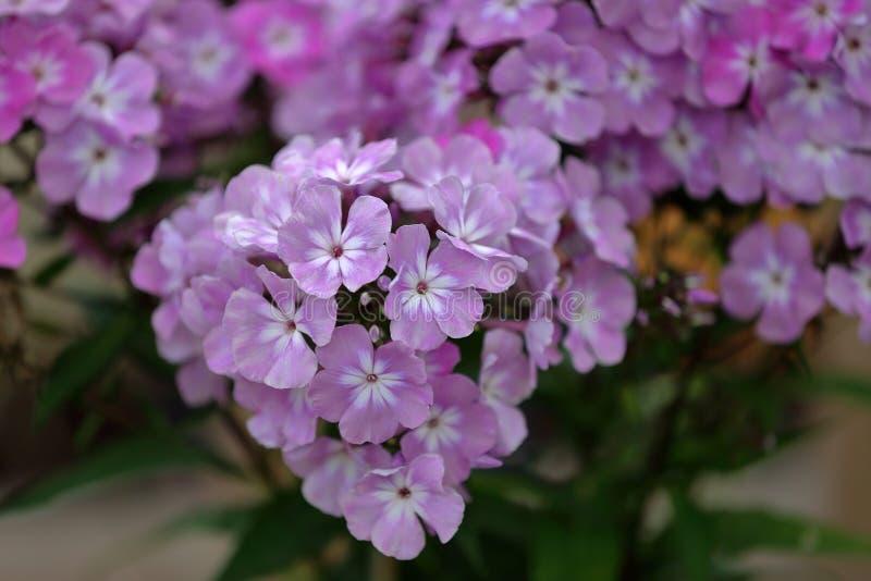 Malerische Blüte von hellen Flammenblumeblumen stockbild