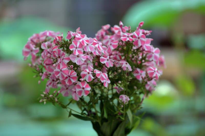 Malerische Blüte von hellen Flammenblumeblumen lizenzfreies stockbild
