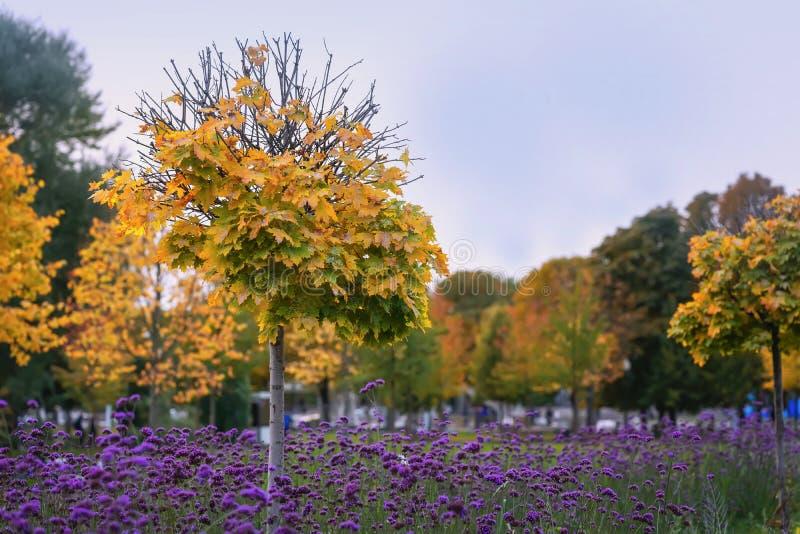 Malerische Landschaft des Herbstparks, helle gelbe Blätter von Bäumen, späte violette Blumen stockbild