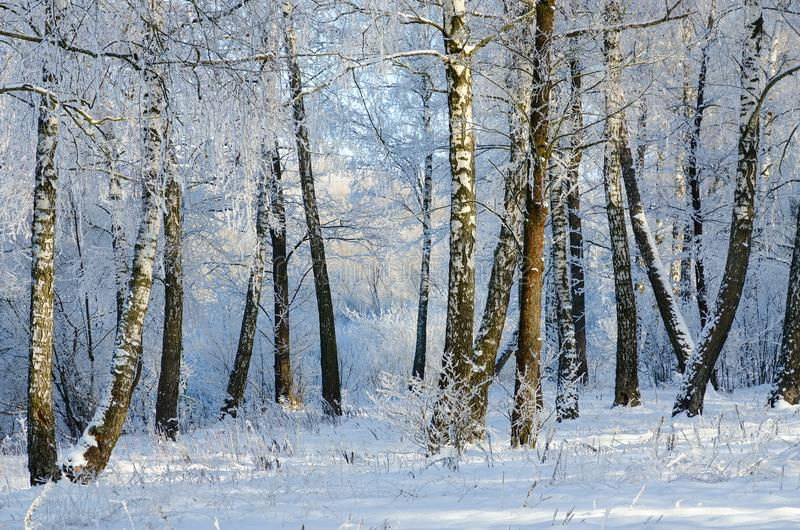 Malerische Winterbirkenwaldung im Reif stockbilder