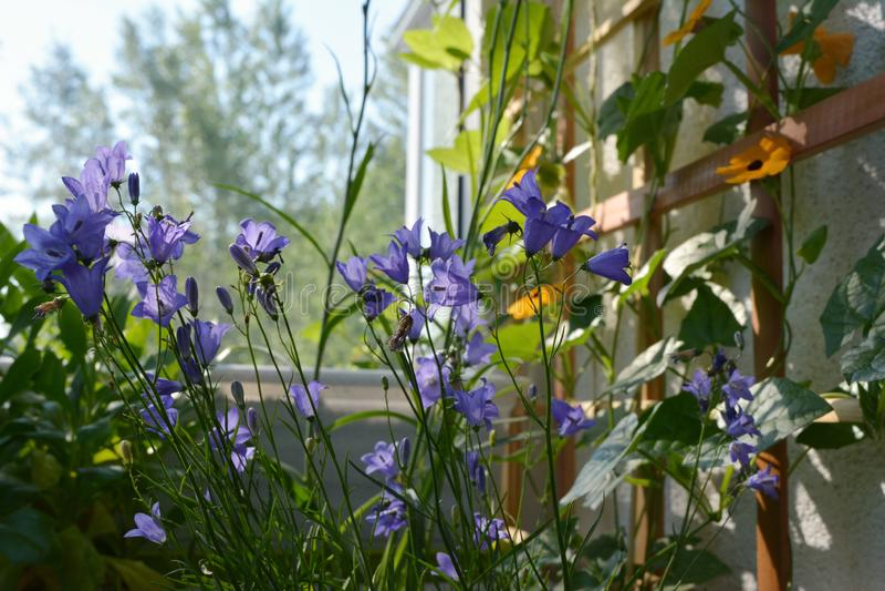 Malerischer Garten auf dem Balkon Gemütlicher Entwurf des grünenden Hauses Violette Glockenblumen und orange Thunbergiablumen lizenzfreies stockbild