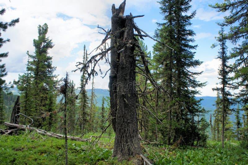 Malerisches alpines Zeder taiga stockbild