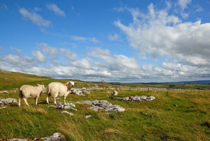 Download Malham landscape stock image. Image of lamb, dales, chew - 26259237