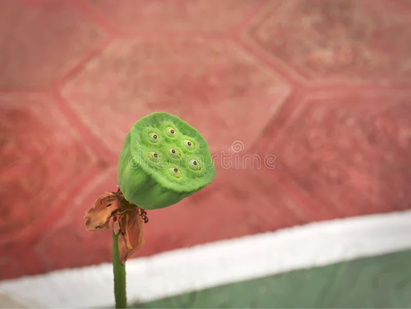 Mali Świezi Zieleni Lotosowi owoc ziarna fotografia stock
