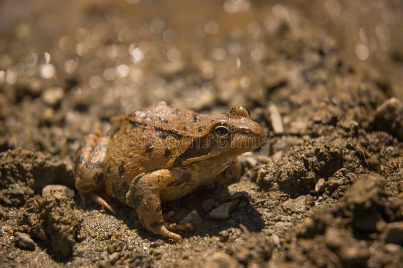 Mali Azjatyccy Rana macrocnemis lub żaba obraz royalty free