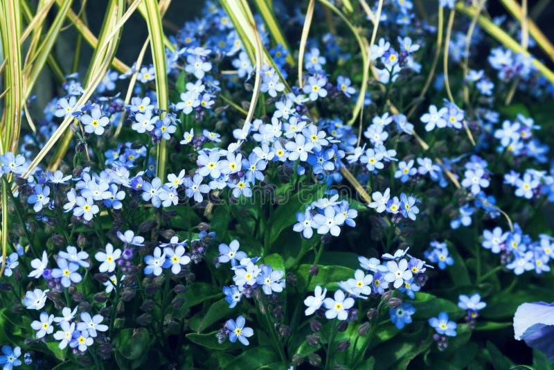Mali błękitni kwiaty r w kwiatu ogródzie na słonecznym dniu Niezapominajkowy Myosotis należy Buraginov rodziny Boraginaceae fotografia royalty free
