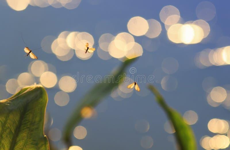 Mali błyszczący komary unosi się nad wodą iluminującą t zdjęcia stock
