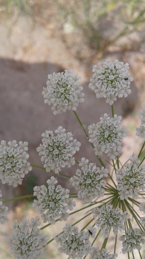 Mali Biali kwiaty obraz royalty free