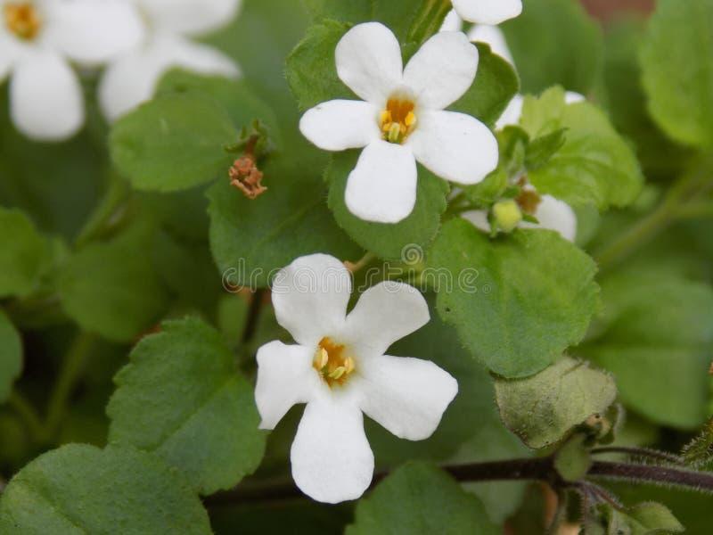 Mali Biali kwiaty zdjęcie stock