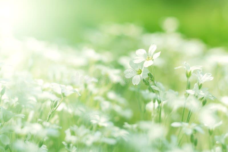 Mali biali kwiaty Bielu pole kwitnie w świetle słonecznym Miękka selekcyjna ostrość fotografia stock