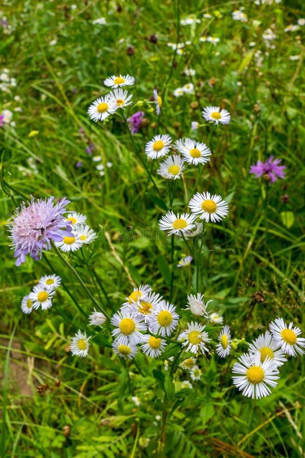 Mali biali kwiaty chamomile pole między trawą i purpurami chabrowymi fotografia royalty free