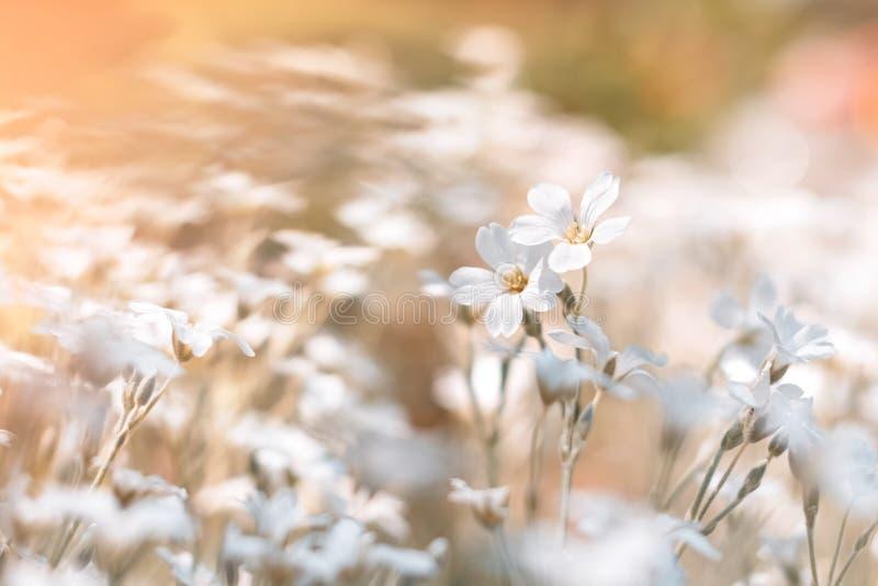 Mali biali kwiaty na pięknym zamazanym naturalnym tle, outdoors Selekcyjna ostro?? zdjęcie royalty free