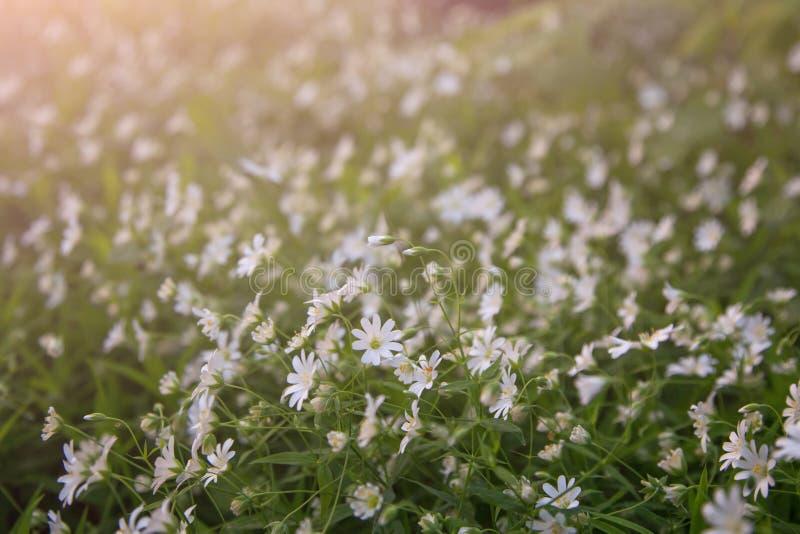 Mali biali kwiaty w łąkowym abstrakcjonistycznym tle zdjęcia stock