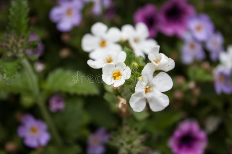 Mali biali kwiaty z żółtymi centrami fotografia royalty free
