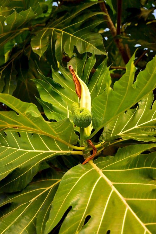 Mali Breadfruit z dużymi liśćmi w ogródzie zdjęcie stock