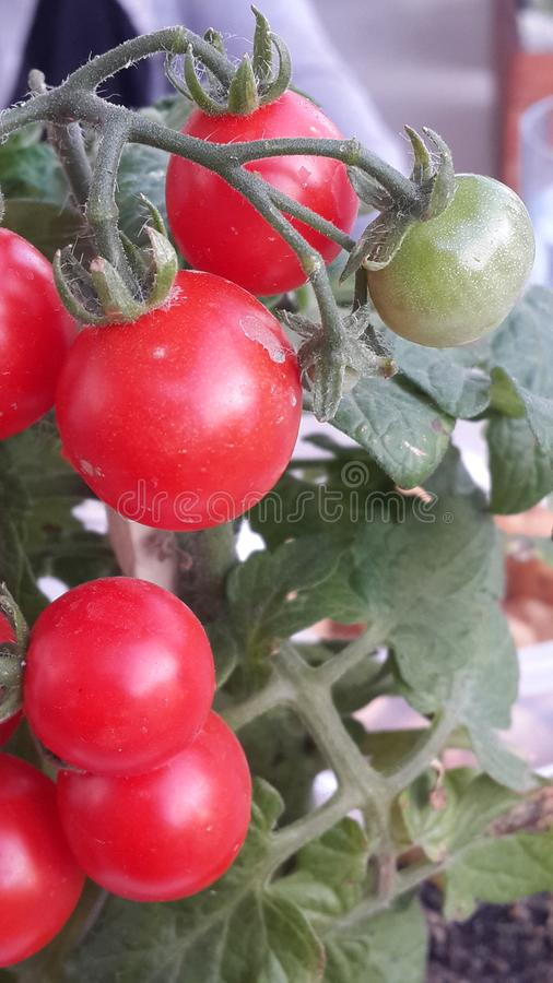 Mali Cherrys pomidory obrazy stock