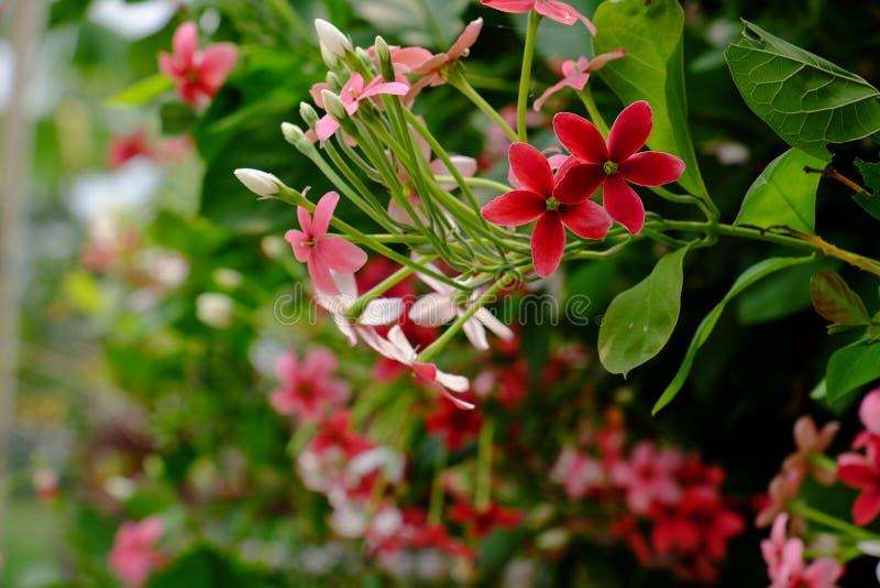 Mali czerwieni i menchii kwiaty fotografia royalty free