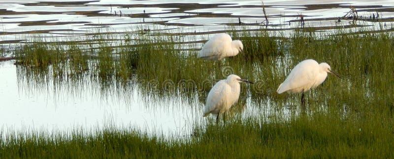 Mali Egrets przy brzeg jeziora zdjęcie stock
