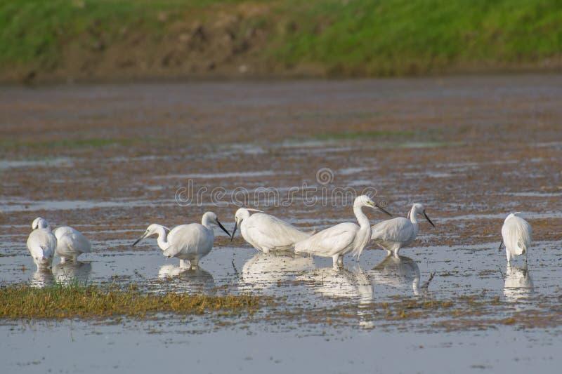 Mali Egrets w Lęgowym upierzeniu zdjęcia stock