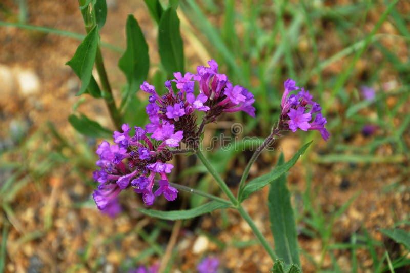 mali kwiatów lillas zdjęcia royalty free