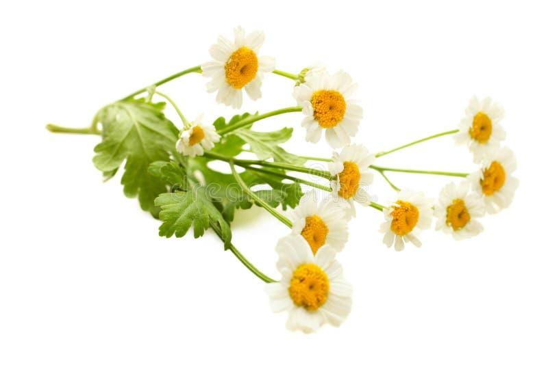 Mali kwiaty chryzantema fotografia royalty free