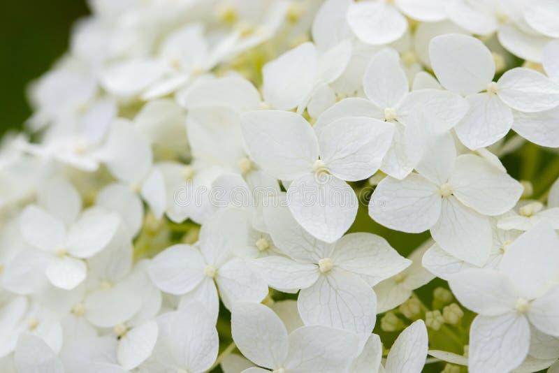Mali kwiaty kwitnie białego hortensji zbliżenie, ogrodowy kwiatu krzak Białych kwiatów hortensji dereń, tło tapety sztandar zdjęcia royalty free