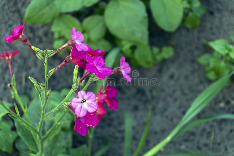 Mali malutcy różowi kwiaty tytoń z zielonymi liśćmi i brązem gruntują na tle zdjęcie royalty free