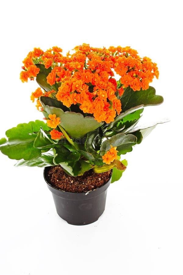 Mali pomarańczowi kwiaty rubiaceae drzewo Pomarańczowa kwiat roślina Grono kwitnie Ixora obrazy stock