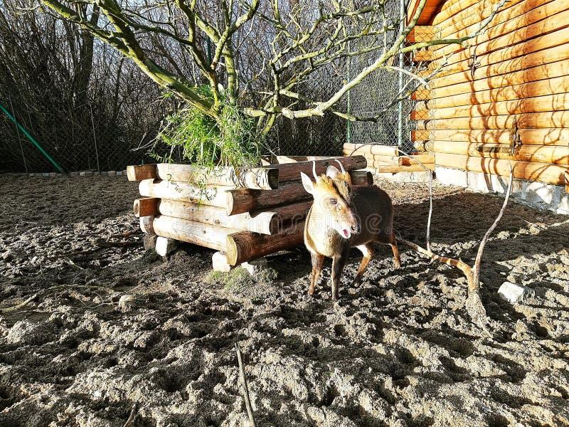 Mali rogacze na domu gospodarstwie rolnym zdjęcie stock
