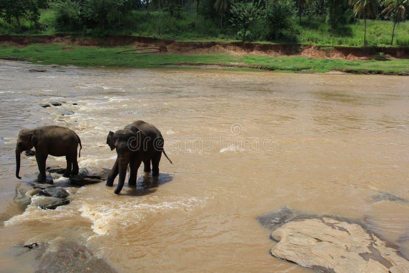 Mali słonie w stawowym Sri Lanka zdjęcie stock