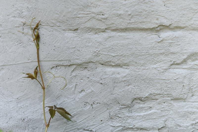 Mali whild winogrona zasadzają blisko starej biel z grubsza tworzącej ściany z cegieł malującej z białą farbą, zamykają w górę, k obraz royalty free