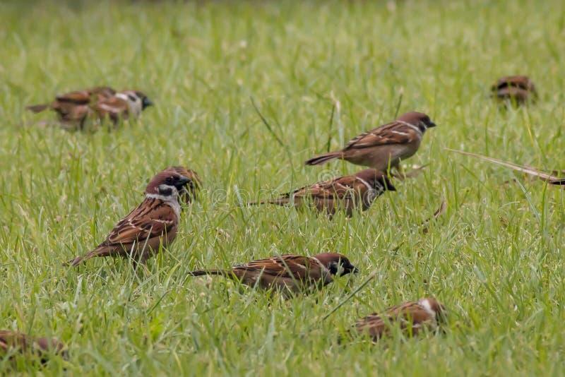 Mali wróble przychodzący wpólnie łączą grupy na zielonej trawy tle obraz stock