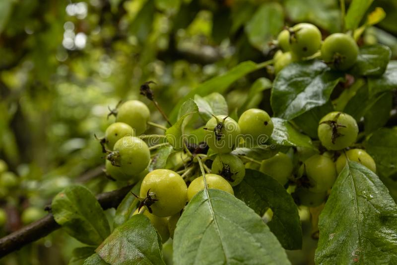 Mali zieleni jabłka na drzewie zdjęcia stock