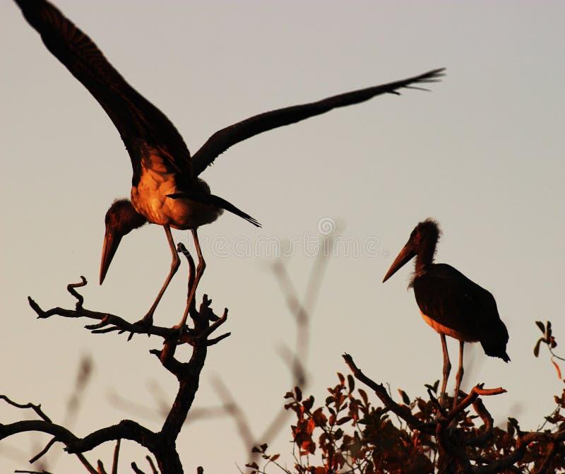 Malibu Stalks na África Austral foto de stock